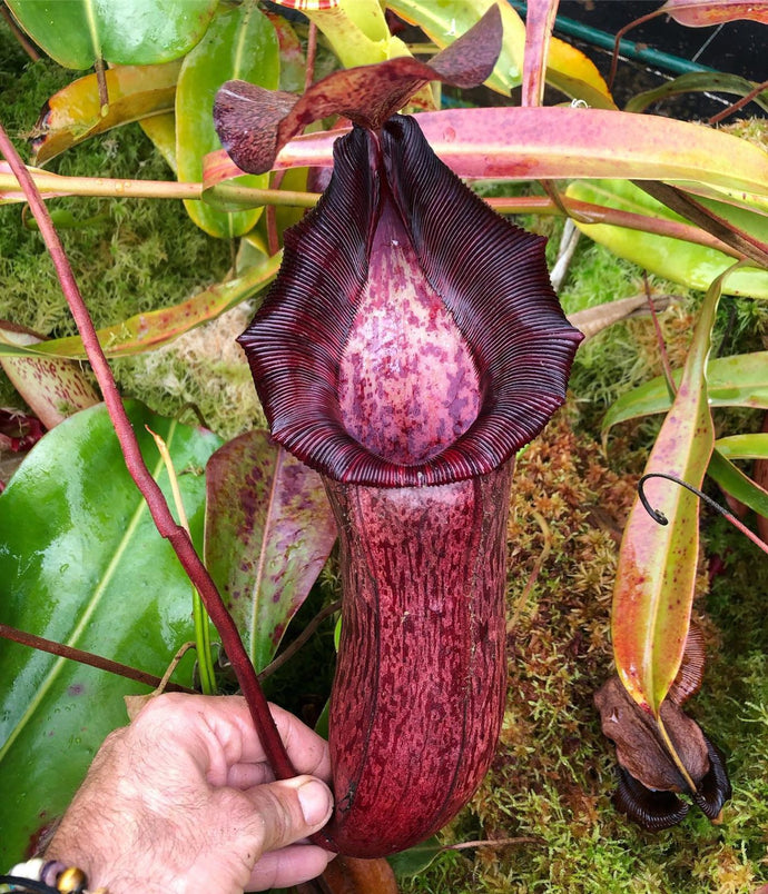 Redleaf Exotics Nepenthes Nepenthes  spectabilis x (lowii x ventricosa) (b)