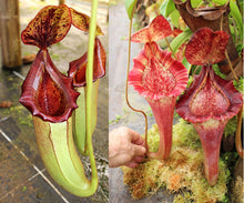 Load image into Gallery viewer, Nepenthes [lowii x (northiana x veitchii)] x [(lowii x veitchii) x boschiana]