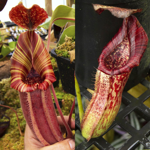 redleaf exotics Nepenthes hybrid RE-0024