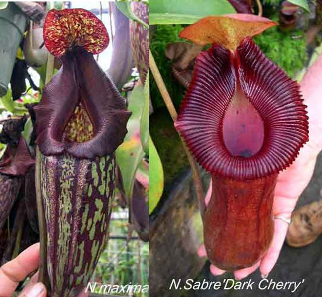 redleaf exotics Nepenthes maxima x Sabre Dark Cherry
