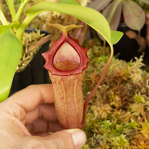 Nepenthes for sale Redleaf Exotics _102