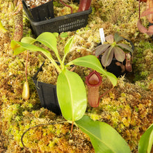 Load image into Gallery viewer, Nepenthes for sale Redleaf Exotics _103