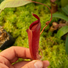 Load image into Gallery viewer, Nepenthes for sale Redleaf Exotics _106