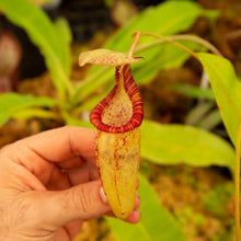 Load image into Gallery viewer, Nepenthes for sale Redleaf Exotics _122