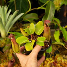 Load image into Gallery viewer, Nepenthes for sale Redleaf Exotics _50