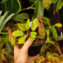 Load image into Gallery viewer, Nepenthes for sale Redleaf Exotics _51