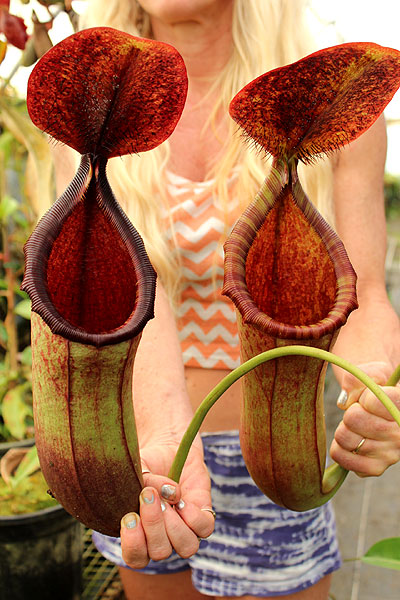 Redleaf Exotics Nepenthes lowii x merrilliana – giant