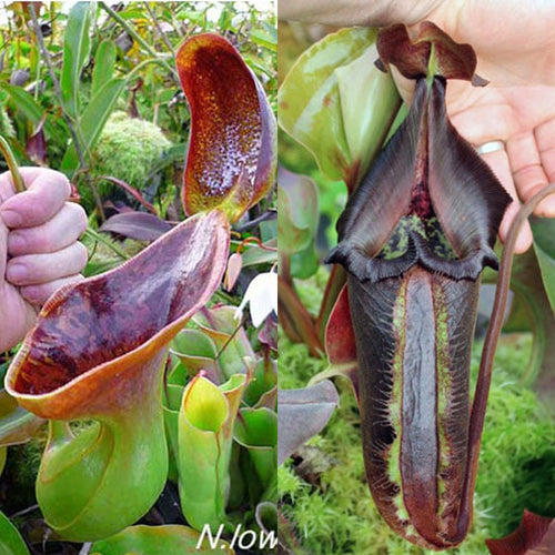 Redleaf Exotics Nepenthes lowii x nebularum