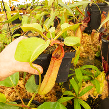 Load image into Gallery viewer, Nepenthes truncata (g) EP