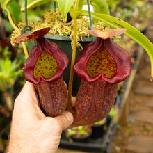 Load image into Gallery viewer, Nepenthes veitchii (m) - Bario (giant x squat pink) EP