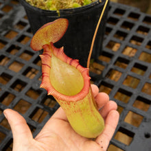 Load image into Gallery viewer, N. ventricosa x ephippiata EP - rooted cutting