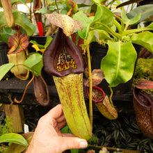 Load image into Gallery viewer, Nepenthes lingulata x truncata - Redleaf Exotics. Carnivorous plants for sale.