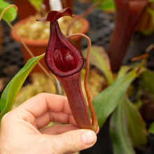 Load image into Gallery viewer, N. (Rokko 'Exotica' x boschiana) x Trusmadiensis EP  FEMALE - rooted cutting
