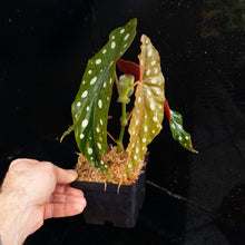 Load image into Gallery viewer, Begonia maculata