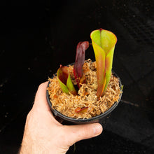 Load image into Gallery viewer, Heliamphora folliculata