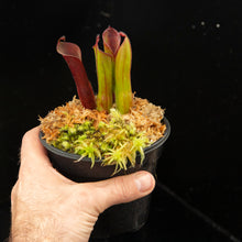 Load image into Gallery viewer, Heliamphora parva