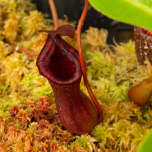 Load image into Gallery viewer, Nepenthes ventricosa x lowii - Red CK - Redleaf Exotics. Carnivorous plants for sale. Tropical pitcher plants for sale.