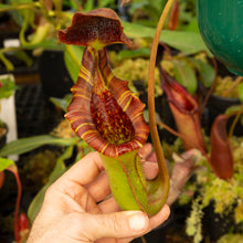 Load image into Gallery viewer, Nepenthes (lowii x truncata) x (ramispina x truncata) - Redleaf Exotics - Nepenthes for sale