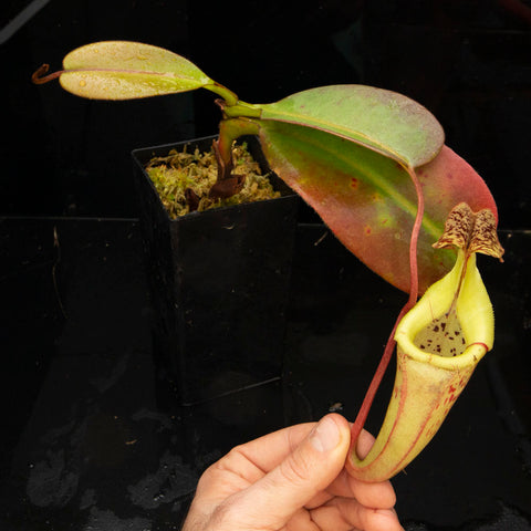 Nepenthes rooted cuttings - Redleaf Exotics