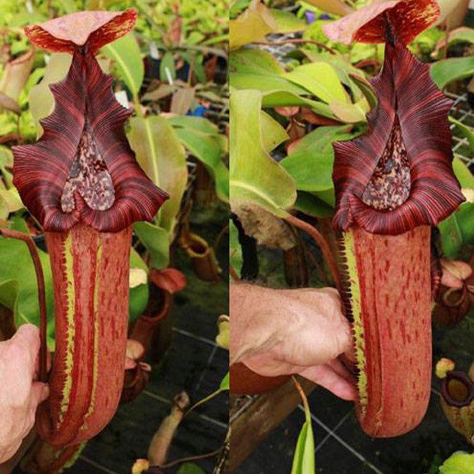 Nepenthes truncata x {maxima x [(stenophylla x lowii) x (Rokko x veitchii)]} - Redleaf Exotics. Carnivorous plants for sale. Tropical pitcher plants for sale.