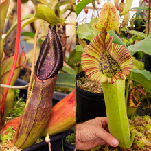 Load image into Gallery viewer, Nepenthes singalana x truncata - Redleaf Exotics - Carnivorous Plants for sale