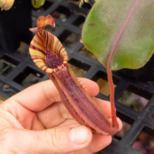 Load image into Gallery viewer, Nepenthes {[(lowii x veitchii) x boschiana] x [(veitchii x maxima) x veitchii]} (C) x (mollis x veitchii) RE-0003