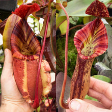 Load image into Gallery viewer, Nepenthes {belli x [(veitchii x maxima) x veitchii]} x {[(lowii x veitchii) x boschiana] x [(veitchii x maxima) x veitchii]} RE-0022