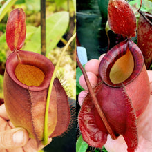 Load image into Gallery viewer, Nepenthes hybrids Redleaf Exotics