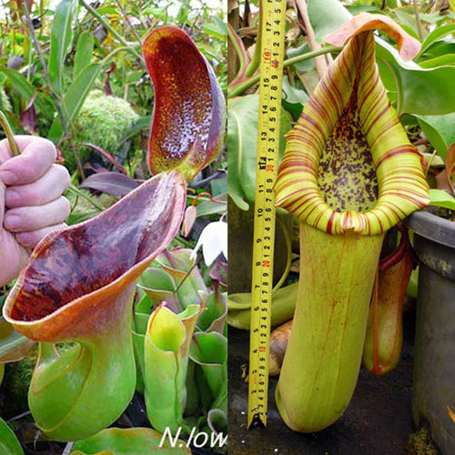 Redleaf Exotics Nepenthes lowii x truncata giant