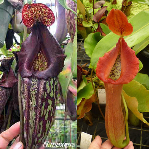 Redleaf Exotics Nepenthes maxima – dark x truncata -red