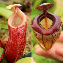Load image into Gallery viewer, Redleaf Exotics Nepenthes tenuidon x tenuis