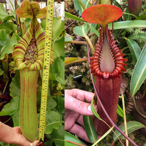 Redleaf Exotics Nepenthes truncata giant x edwardsiana