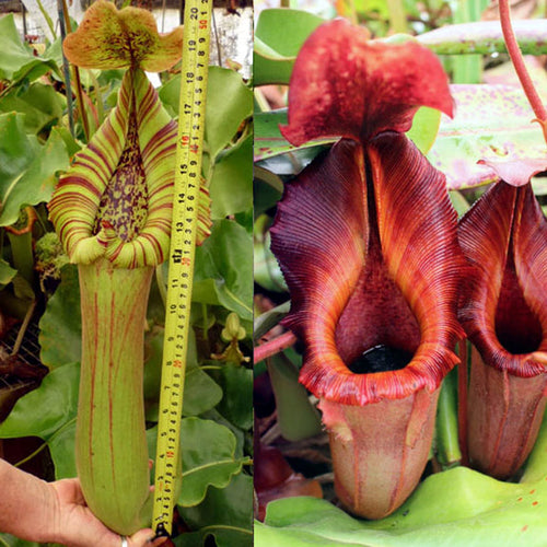 Redleaf Exotics Nepenthes truncata giant x lowii x veitchii x veitchii