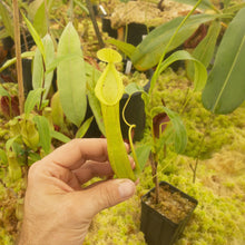Load image into Gallery viewer, Redleaf exotics Nepenthes 9_13_49
