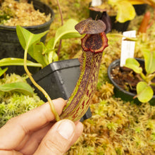 Load image into Gallery viewer, Redleaf exotics Nepenthes 9_13_75
