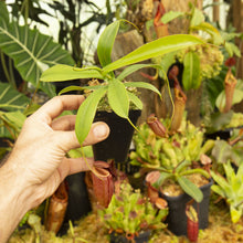 Load image into Gallery viewer, Redleaf exotics Nepenthes 9_13_80