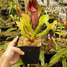 Load image into Gallery viewer, Redleaf exotics Nepenthes 9_13_83