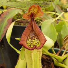 Load image into Gallery viewer, Redleaf exotics Nepenthes 9_13_90