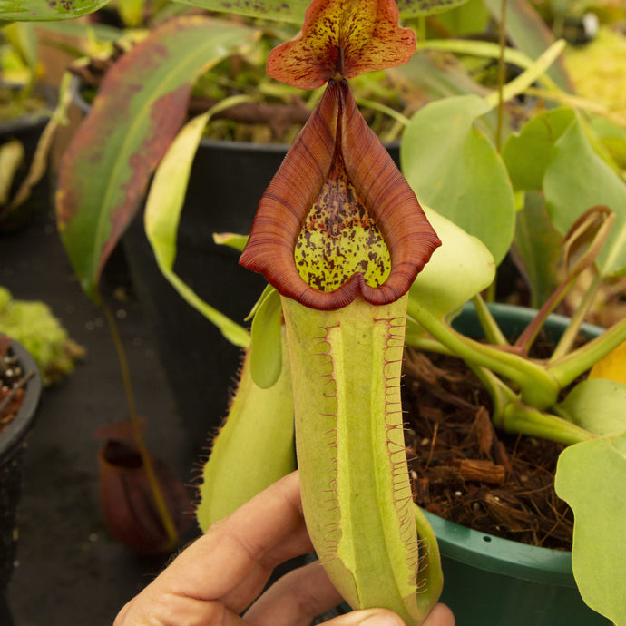 Redleaf exotics Nepenthes 9_13_91