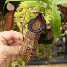 Load image into Gallery viewer, Redleaf exotics Nepenthes 9_25_58