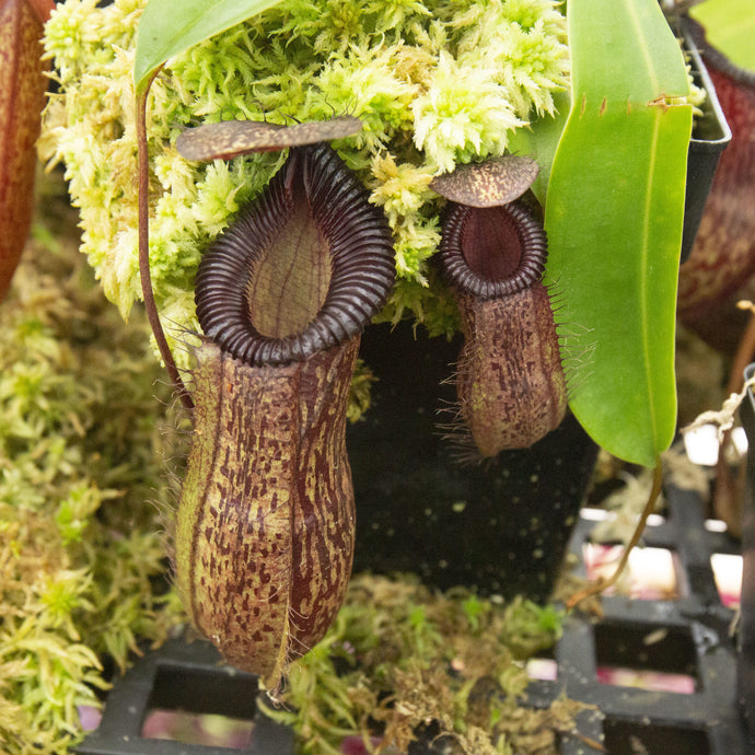 Redleaf exotics Nepenthes 9_25_60