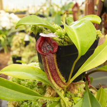 Load image into Gallery viewer, Redleaf exotics Nepenthes 9_4_4