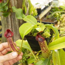 Load image into Gallery viewer, Redleaf exotics Nepenthes 9_4_6