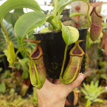 Load image into Gallery viewer, Redleaf exotics Nepenthes_11
