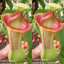 Load image into Gallery viewer, Redleaf exotics Nepenthes