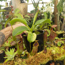 Load image into Gallery viewer, Redleaf exotics Nepenthes_13