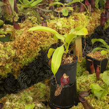 Load image into Gallery viewer, Redleaf exotics Nepenthes_2