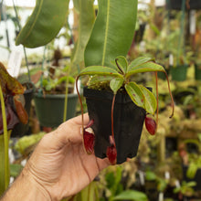 Load image into Gallery viewer, Redleaf exotics Nepenthes_21