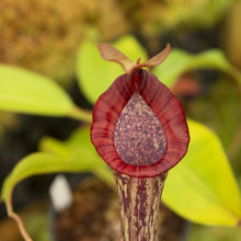 Load image into Gallery viewer, Redleaf exotics Nepenthes_4