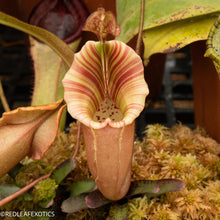 Load image into Gallery viewer, N. eymae x veitchii 'Exotica's Best' ULTRA RARE!